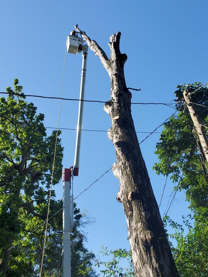 Removing a large tree in Eureka Missouri